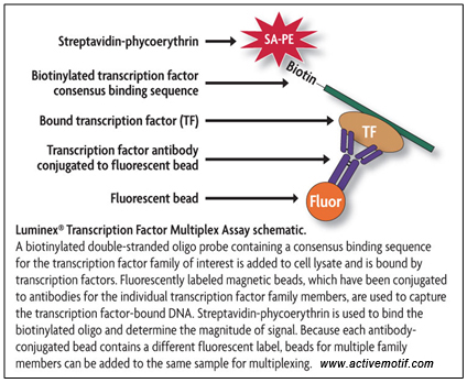 Luminex® Transcription Factor Multiplex Assay schematic